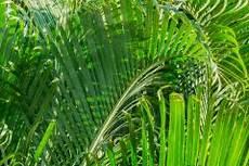 kentia palme braune blätter bekommen braune bl 228 tter 187 was steckt dahinter