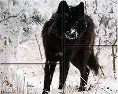 Black Alpha Wolf Wallpaper