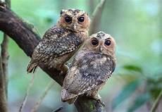 600 Gambar Burung Hantu Celepuk Paling Keren Gambar Id