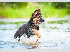 Fotobehang Duitse herder puppy die in water ? Pixers®   We