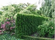 thuja hecke pflanzen thuja smaragd hedging plants thuja occidentalis smaragd