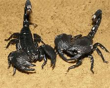 Image result for Scorpion Animal