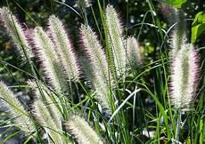 gräser im steingarten steingartenpflanzen polsterstauden und bl 252 hende stauden im