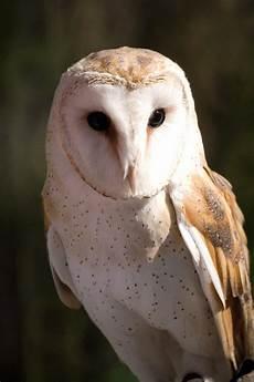 Gambar Burung Hantu Gambar Burung Hias Piaraan Kicau