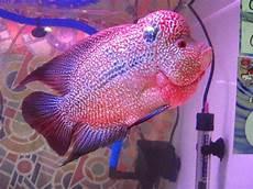 Ikan Ikan Louhan