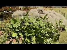 comment semer et planter du persil jardinerie truffaut