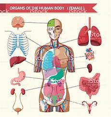 Organs Of The Human Diagram Stock Vector More