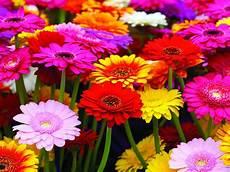 significato dei fiori gerbera e primavera scopri il significato dei fiori melarossa