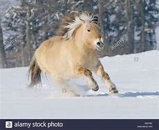 Ausmalbilder Pferde Im Winter Fjord Pferd Im Galopp Im Winter Stockfoto Bild 51972408