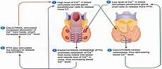 Bagaimana Anatomi Sistem Endokrin Pada Manusia Ilmu