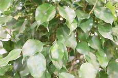 weeping fig tree plant ficus benjamina care indoors
