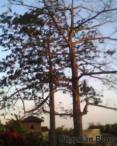 Gambar Pohon Randu Ubaydian Blogs