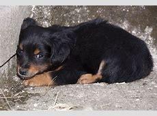 Syringomyelia (SM) in Dogs   Symptoms, Causes, Diagnosis
