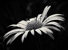 fiori in bianco e nero beaut 233 fleur jaune noir et blanc 183 photo gratuite sur pixabay