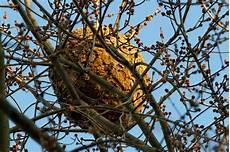 comment trouver un nid de frelon reconna 238 tre un nid de frelon asiatique photo