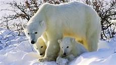 vendre la peau de l ours quelle couleur est la peau de l ours polaire l acad 233 mie secr 232 te