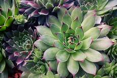 Dickfleischige Pflanze Sukkulente - succulents make wonderful container and low maintenance