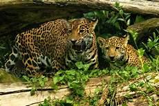 jaguar animal facts