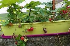 erdbeeren lilatomate