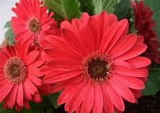 significato dei fiori gerbera fiori per san valentino la gerbera pollicegreen