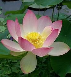 fiore loto come coltivare il fiore di loto in vaso ambiente bio