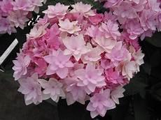And Me Malvorlagen Romantis Hydrangea M You Me You Me Hydrangea