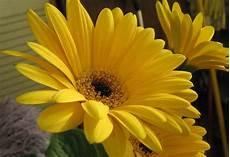 significato dei fiori gerbera fiori gialli nomi caratteristiche origine immagini