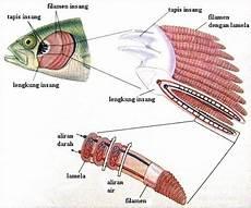 Sebutkan Bagian Bagian Insang Ikan Dan Fungsinya