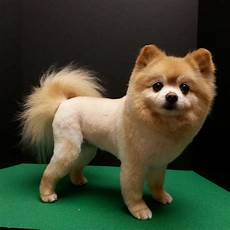 have your little pomeranian like a fierce lion with these haircut ideas the secret life