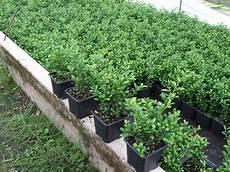 pflanzen für hecke pflanzen
