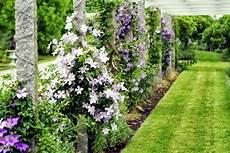 kletterpflanze schatten immergrün clematis in the garden planting maintenance and
