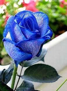 Gambar Bunga Mawar Putih Layu Gambar C