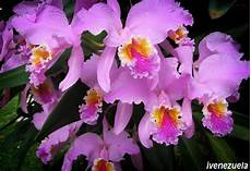 dibujos de la flor nacional de venezuela what is the national floral emblem for your nation page 2
