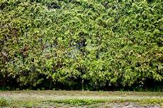 kosten thuja hecke lebensbaum wurzeln entfernen la69 casaramonaacademy