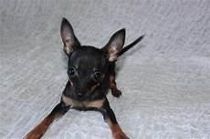 russkiy terrier welpen echte mini hunde wie chihuahua