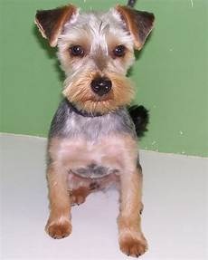14 best yorkie style inspiration images pinterest yorkie yorkie haircuts and yorkies