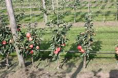 mini apple tree maloni 174 sally 174 for sale buy apple trees