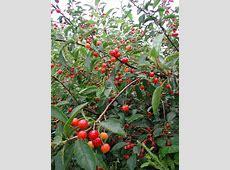 wild cherry trees pennsylvania
