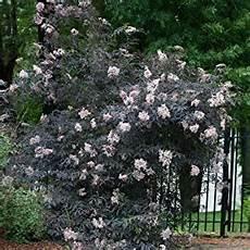 Holunder Black Lace - black lace elderberry sambucus live shrub