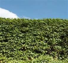 hecken und sträucher heckenpflanzen jetzt kaufen bei hornbach 214 sterreich