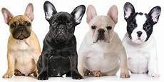 Beliebte Hunderassen Top 10 Der Vierbeine 2017 Pets