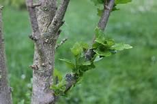 hibiskus hochstamm schneiden hibiskusbaum hibiskus als st 228 mmchen pflege anleitung