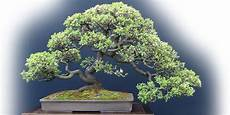 Bonsai Baum Kaufen - quality bonsai trees supplies 100 000 trees shipped