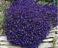fiori a cascata 3 x aubrieta blue alpine rockery trailing plants