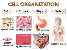 cells tissues and organs biology study material cell tissue organ body