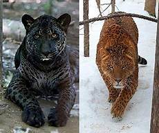 jaguar tiger hybrid top 10 plus hybrid animals of the world cats