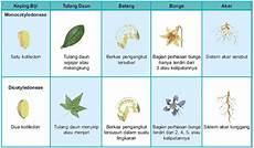 Perbedaan Tumbuhan Dikotil Dan Monokotil Yuksinau Id