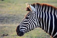 zebra bild zebra foto bild africa southern africa south africa