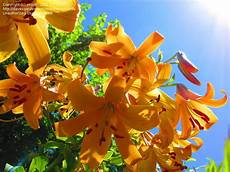 Awesome Lilium Picture
