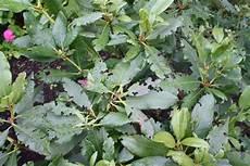 schädlinge kirschlorbeer dickmaulrüssler der dickmaulr 252 ssler ein gef 228 hrlicher sch 228 dling